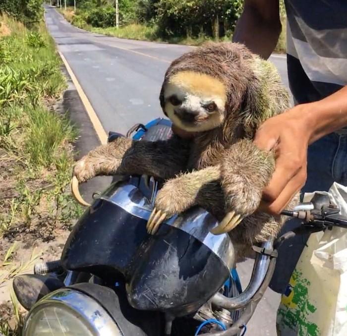 Ленивец отжал мотобайк в Бразилии Бразилия, Ленивец, Путешествия, Уснул, Видео, Длиннопост