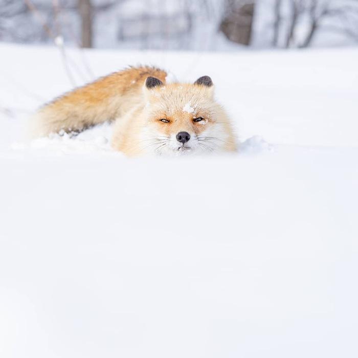 Бразды пушистые взрывая ^.^ Лиса, Пушистый, Снег, Милота, Животные, Фотография