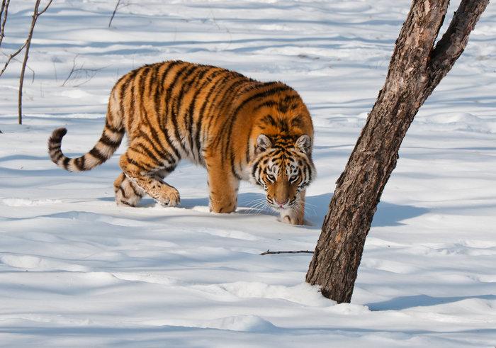 Амурский тигр - гость Забайкалья Амурский тигр, Забайкалье, Природа, Длиннопост