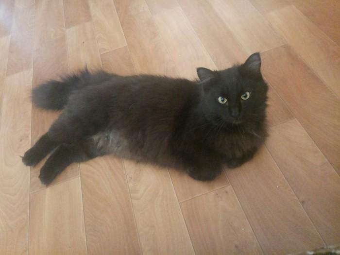 Приютский кот. Кот, Приют для животных, Шерстяной волчара, Длиннопост