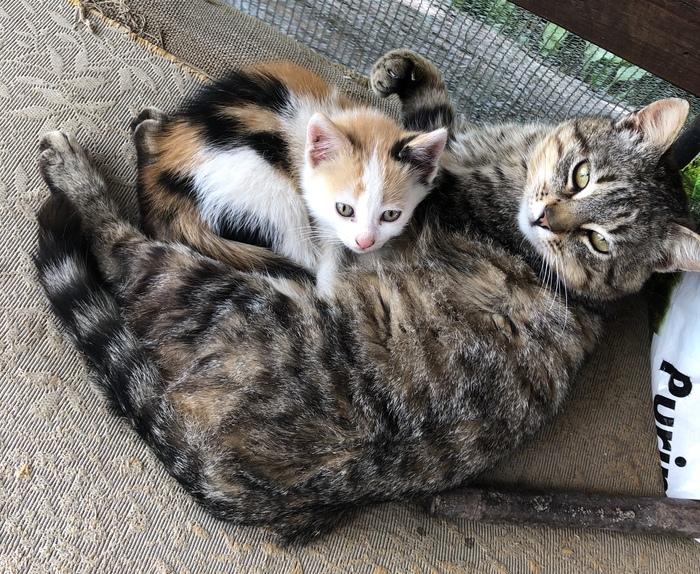 Подарок на День Победы Кот, Трехцветная кошка, Милота
