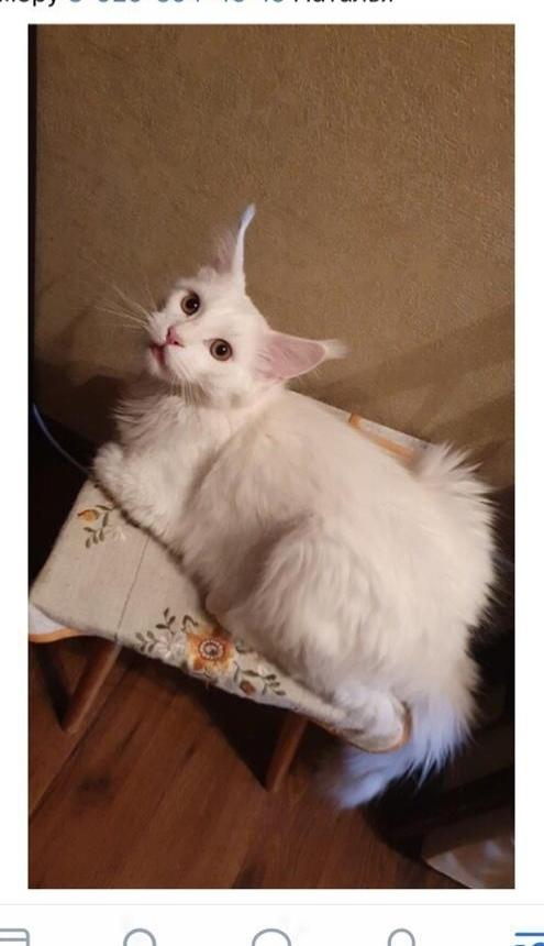 Потерялся кот!!! Помогите котику вернуться домой!!! Верим в силу Пикабу!!! Помогите найти, Мейн-Кун, Кот, Длиннопост, Потерялся кот, Московская область, Железнодорожный, Без рейтинга