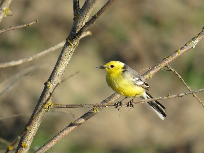 Малая желтоголовая трясогузка. Птицы, Фотография, Трясогузка, Наблюдение за птицами