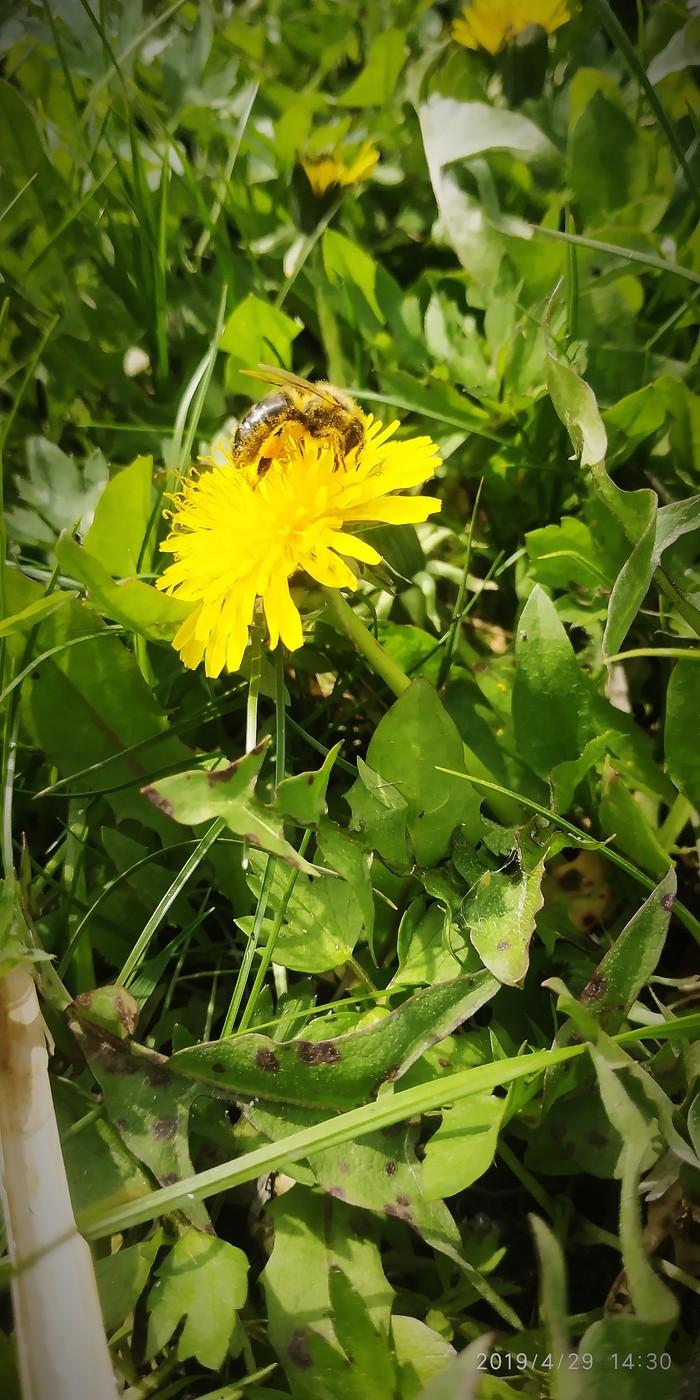 Пчела Одуванчик, Пыльца, Май