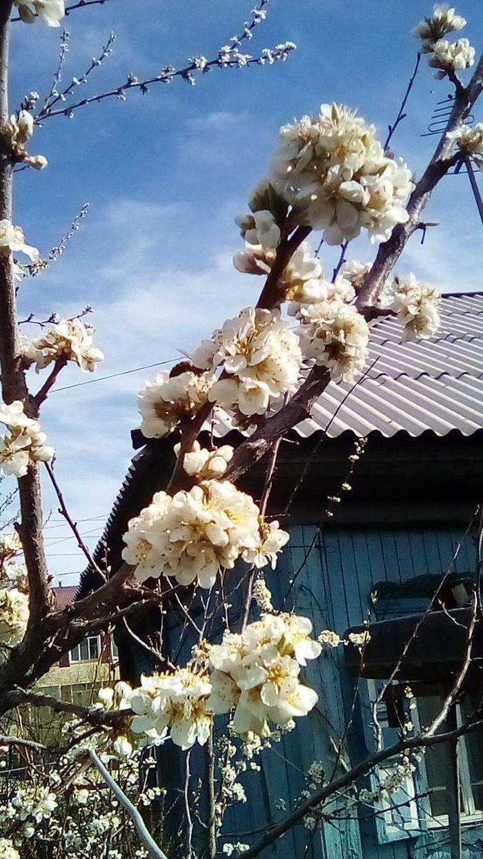 Слива цветет Сибирь, Цветы, Слива, Весна, Длиннопост