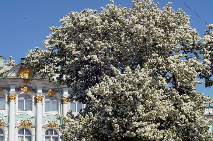 Петербург расцветает. Санкт-Петербург, Весна, Цветы, Фотография, Длиннопост