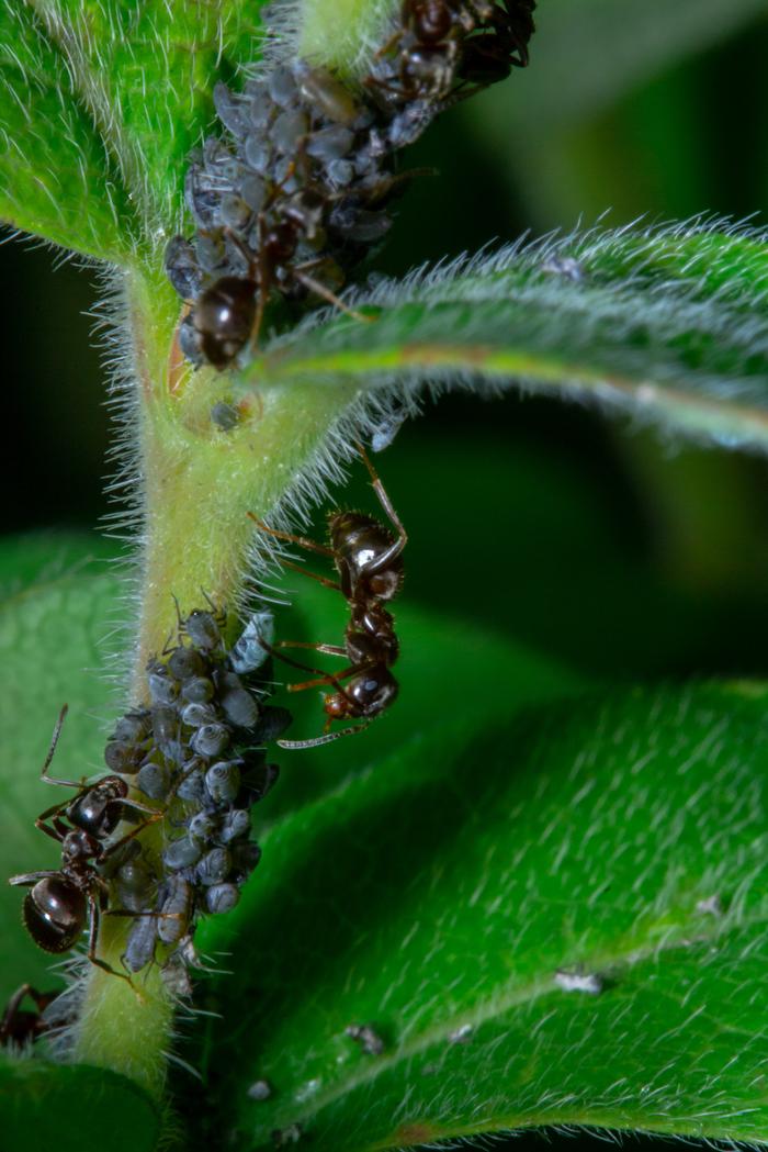 Симбиоз тли и муравьёв Макро, Фотография, Макросъемка, Начинающий фотограф, Насекомые, Canon 60D, Canon 60mm macro, Длиннопост