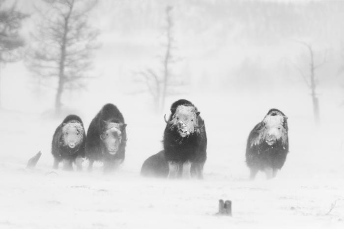 Призраки тундры Фотография, Тундра, Ямал, Овцебык