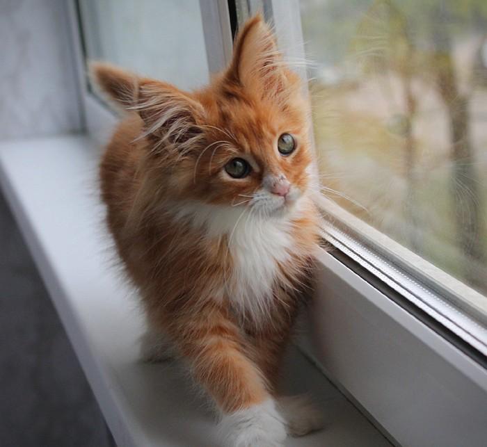 Мне продали смертельно больного котёнка, нужна помощь! Кот, Мейн-Кун, Санкт-Петербург, Сила Пикабу, Длиннопост, Недобросовестный заводчик, Без рейтинга, Негатив