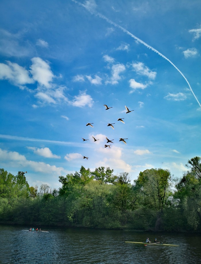 Гуси-лебеди и гребцы. Май 2019 Брест