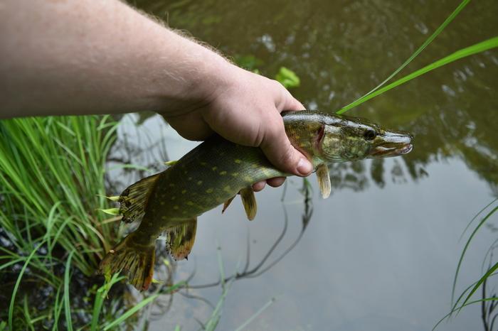И откуда в этой микроречке столько рыбы? Рыбалка, Голавль, Река, Калининград, Видео, Фотография, Длиннопост