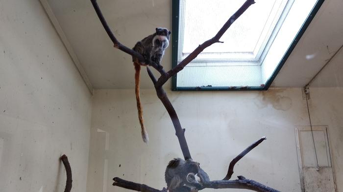 Когда у обезьяны барбер лучше, чем у тебя Обезьяна, Усы, Барбер, Зоопарк