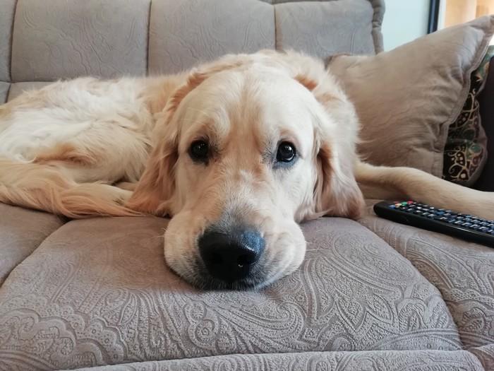 Пёс-нос Золотистый ретривер, Собака