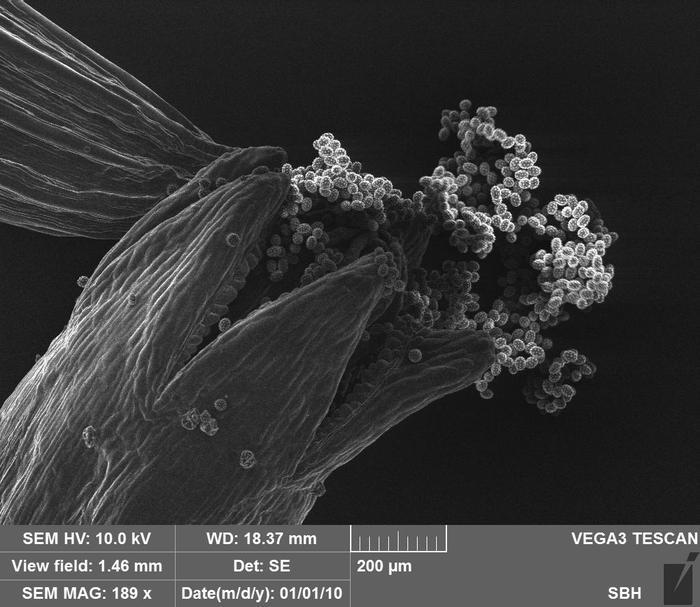 Ромашка Что то под микроскопом, Насекомые, Ботаника, Пыльца, Биология, Длиннопост