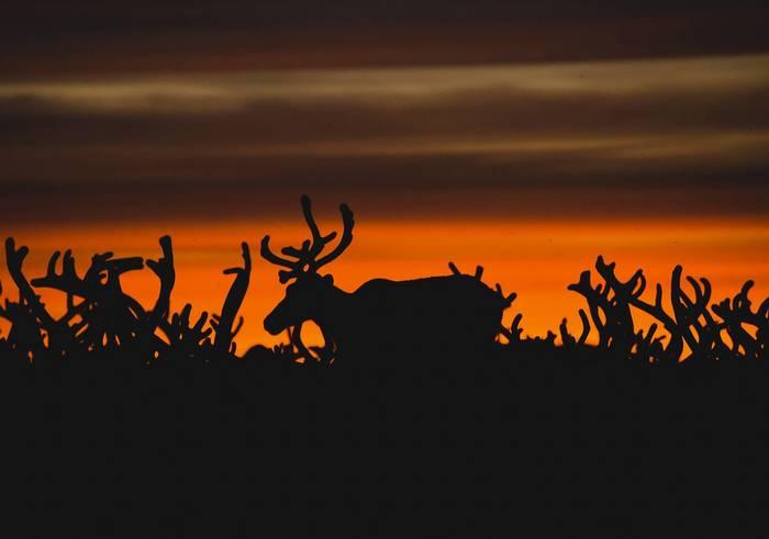 Они неделями не видят солнца.Один день из жизни оленеводов Колымы в атмосферных фотокарточках Северные олени, Колыма, Север, Якутия, Оленевод, Животные, Длиннопост
