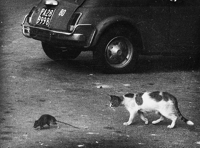 Сицилийский котик и сицилийская же крыска Кот, Крыса, Сицилия