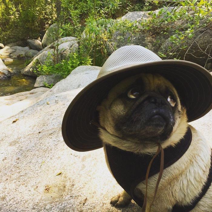 Мопс путешественник