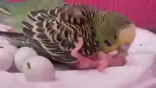 Мама кормит птенчика Попугай, Волнистые попугаи, Птенец, Птицы, Кормление, Позитив, Видео, Гифка