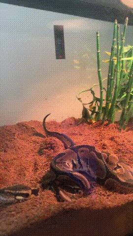 Метеоризм у змей