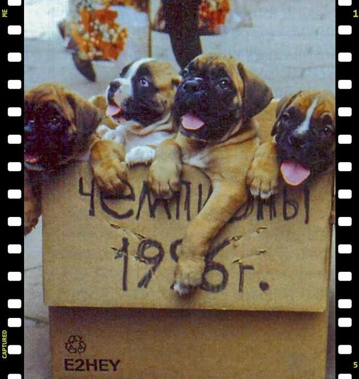 Продажа щенков Боксера, Москва 1996 год.