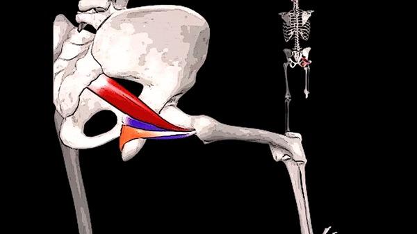 БОЛИТ ЯГОДИЦА И КРЕСТЕЦ: синдром грушевидной мышцы Здоровье, Медицина, Анатомия, Видео, Гифка, Длиннопост