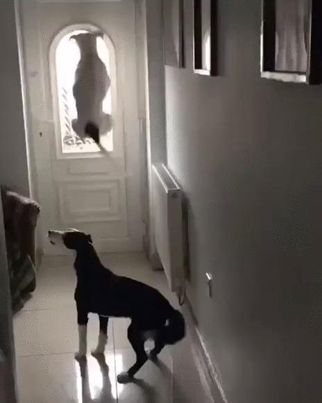 Хозяин вернулся! Собака, Домашние животные, Прыжок, Хозяин, Встреча, Радость, Гифка