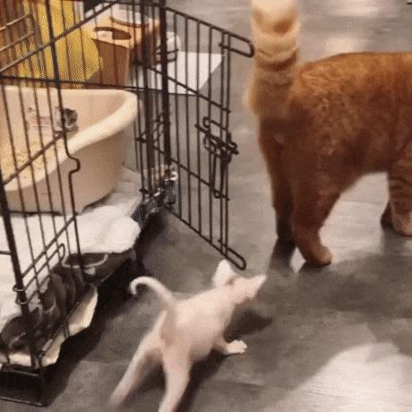 Кот встречает котенка