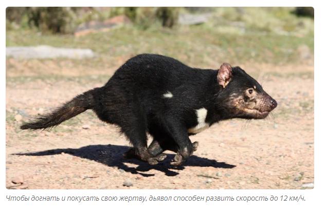 Тасманский дьявол: «Закрой свой Зубальник!» или статья про самого безумного хищника - фото 2
