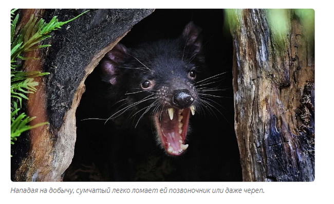 Тасманский дьявол: «Закрой свой Зубальник!» или статья про самого безумного хищника - фото 3