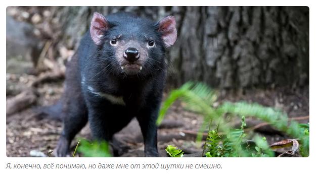 Тасманский дьявол: «Закрой свой Зубальник!» или статья про самого безумного хищника - фото 4