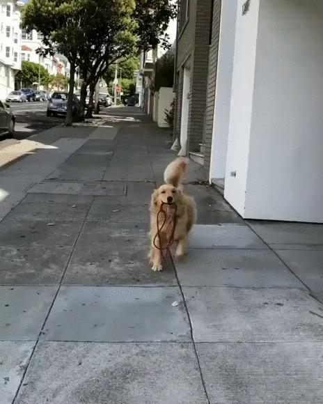 Самостоятельный хороший мальчик Собака, Золотистый ретривер, Домашние животные, Прогулка, Поводок, Гифка