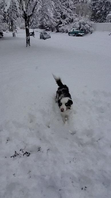 Ура! Наконец-то снег! Собака, Бордер-Колли, Домашние животные, Снег, Зима, Прыжок, Радость, Гифка