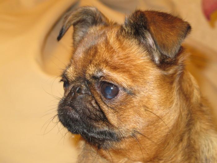 33 несчастья. Из жизни гремлинов. Собака, Домашние животные, Длиннопост