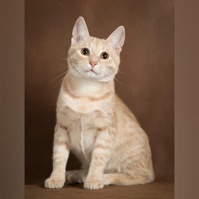 Вай какой кот, просто Пэрсик! Кот, В добрые руки, Москва, Домашние животные, Без рейтинга, Длиннопост