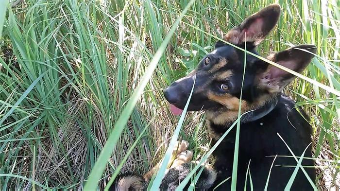 Отучаем собаку лаять на сородичей. Шикарный метод! (Часть 1) Собака, Немецкая овчарка, Дрессировка, Яндекс Дзен, Длиннопост