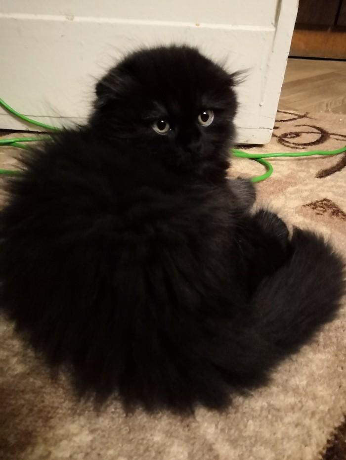 Из маленького комочка в пушистое чёрное облако тьмы Кот, История, Черный кот, Милота, Длиннопост