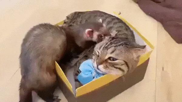 Я только с краешку посижу Кот, Хорек, Домашние животные, Коробка, Коробка и кот, Дружба, Милота, Гифка