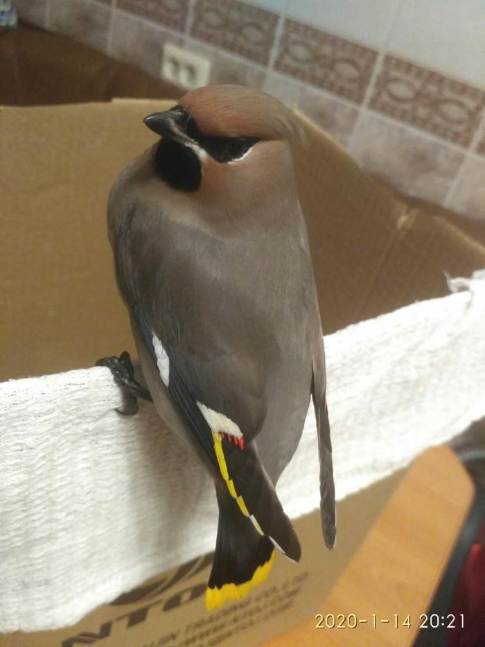 Пернатые quotпьянчужкиquot или что делать если нашел уставшую птаху зимой?