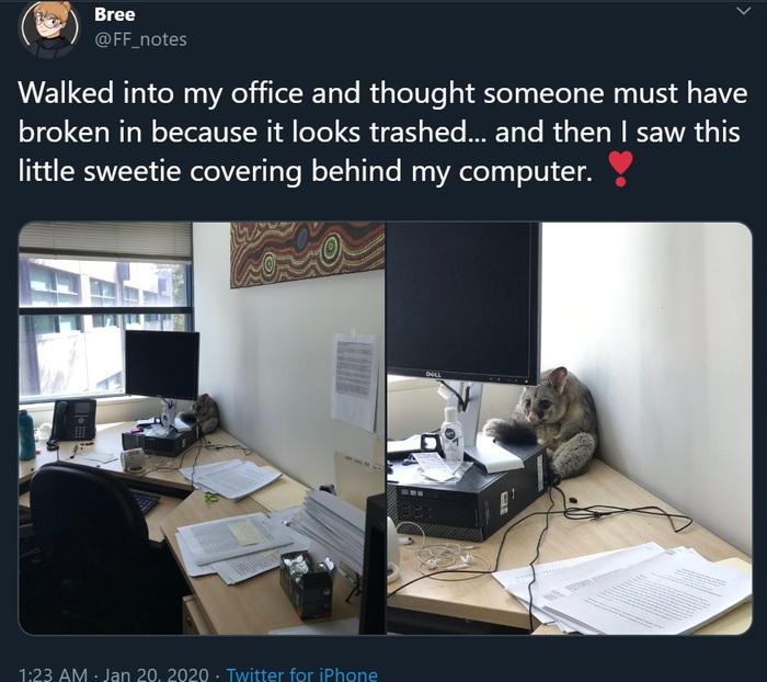 Незадачливый взломщик Поссум, Австралия, Twitter, Милота, Офис, Длиннопост