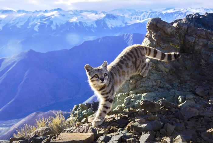 Чрезвычайно редкая Андская кошка