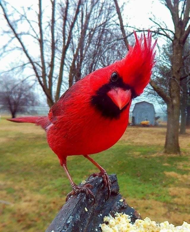 Красный кардинал как бы говорит тебе quotСпать пора, завтра понедельникquot