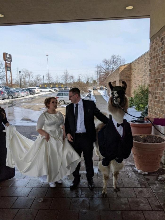 Quot5 лет назад пообещал сестре, что приведу ламу на её свадьбуquot