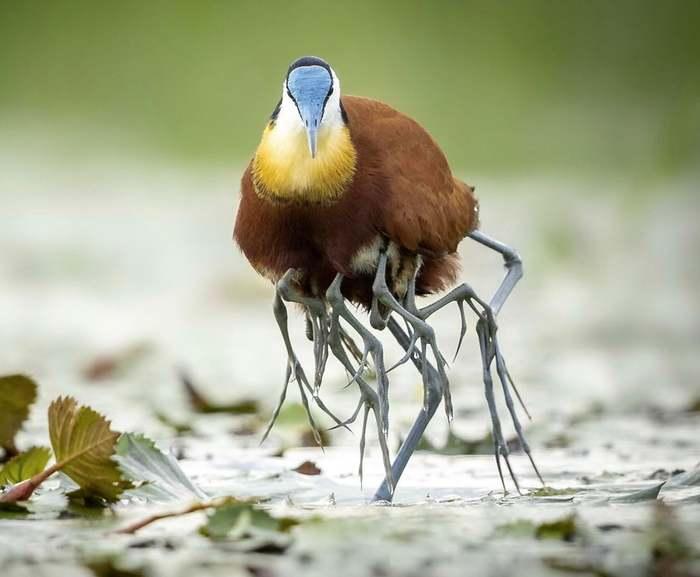 Так Якана переносит своих птенцов, выглядит крипово