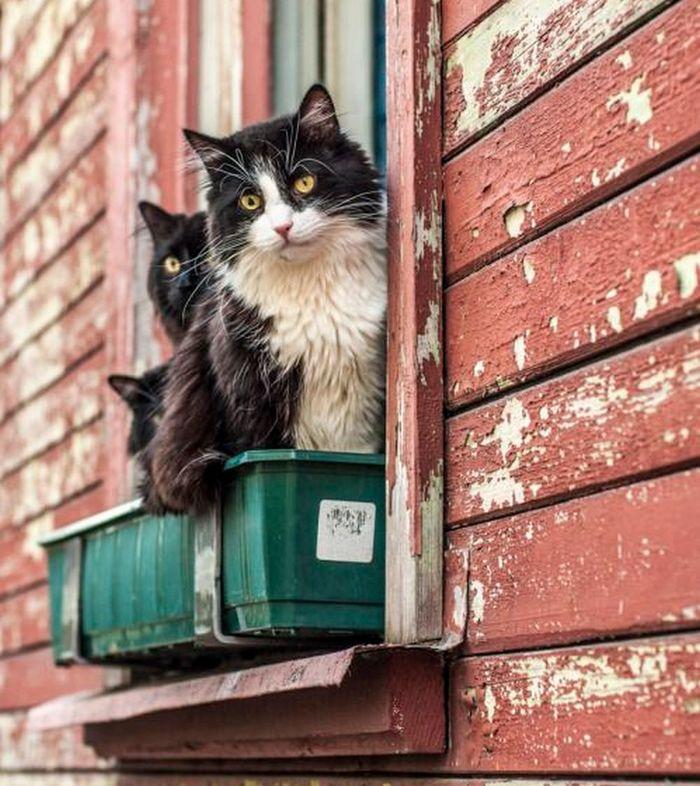 Весна. На окне расцвели коты...