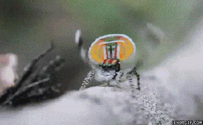 Паук-павлин: Танцуй или умри. Жесткие законы крошечных пауков Паук-Павлин, Австралия, Книга животных, Яндекс Дзен, Гифка, Длиннопост, Видео, Паук