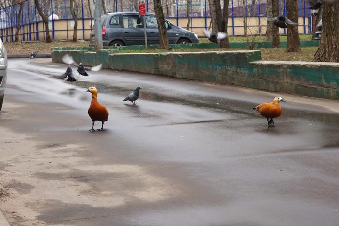 Шутки шутками, а огари (красные утки) из Ботанического сада потихоньку возвращают себе Москву