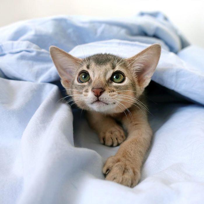 Аби кот