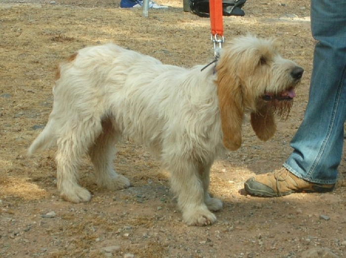 О породах собак №129. Бассеты, часть 2. Французские бассеты Собака, Породы собак, Охотничьи собаки, Гончие, Длиннопост