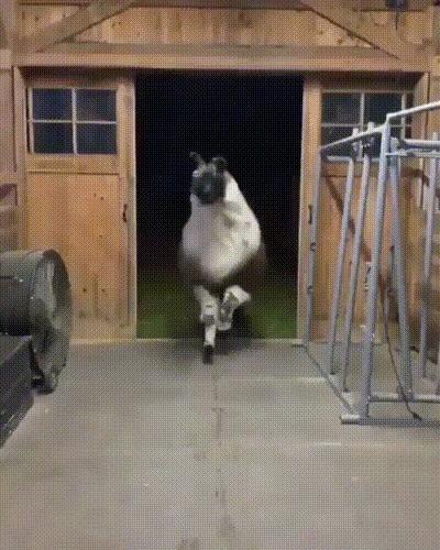 Крутая лама с шикарной гривой знает, как нужно правильно входить в помещение, чтобы поразить всех Животные, Лама, Круто, Красота, Slow motion, Вертикальное видео, Шерсть, Видео, Гифка