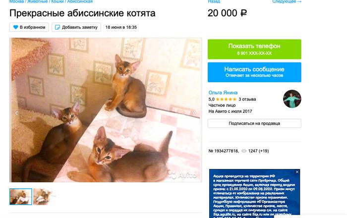 Осторожно: заводчица-мошенница разводит больных котят Мошенничество, Абиссинская кошка, Недобросовестный заводчик, Панлейкопения, Негатив, Длиннопост